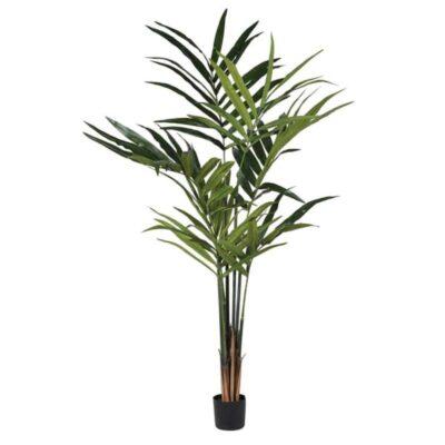 Green Kentia Palm in Black Pot